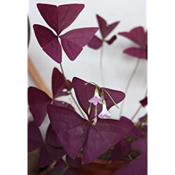 3 Packs 6 de Red Oxalis Woodsorrel Triangularis Flor Semillas A058
