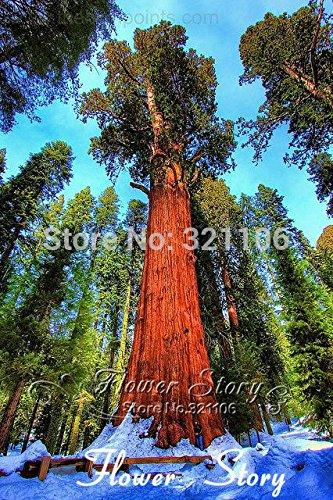 la promoción grande 20 semillas secoya gigante, semillas de bonsái, Sequoia, de crecimiento rápido, las especies de árboles más valiosos raras