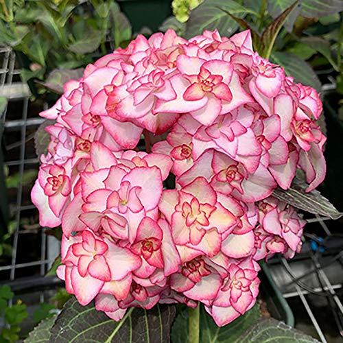 Oce180anYLVUK Hortensiensamen, 1 Beutel Hortensiensamen Seltene Kleine Kugelförmige Blumensamen Riesige Schneebälle Für Den Garten Rosa Hortensie