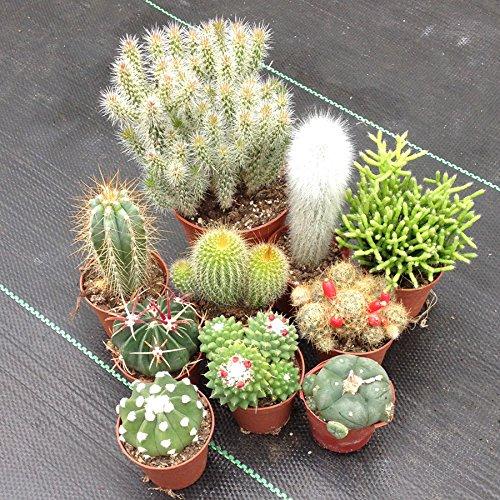Cactus Collezione (10 Piante)