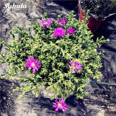 Grosses soldes! 50 Pcs Daisy Graines de fleurs crème glacée parfum de fleurs en pot Chrysanthemum jardin Décoration Bonsai Graines de fleurs 6