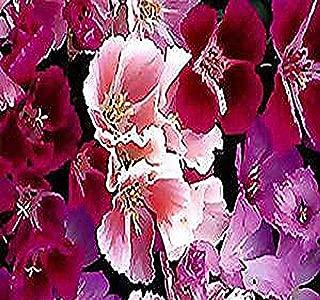 3000 x AZALEA DOUBLE MIX CLARKIA GODETIA - AZALEA DOUBLE MIX - Flower Seeds - Clarkia amoena 12-24