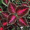 Semi di Coleus Rainbow - Coleus hybridus - 15 semi #4