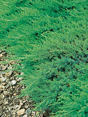 Pianta di Juniperus Sabina Rockery Gem in vaso ø16 cm