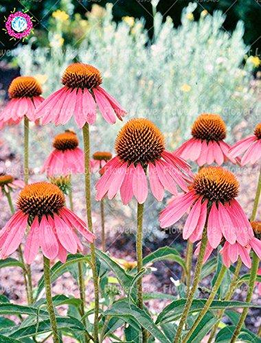50PCS Rare orange Graines Echinacea vivace Graines de fleurs échinacée Showy Beaucoup-doublé capitules Plante en pot pour le jardin 10