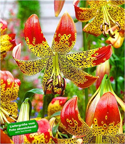 BALDUR Garten Lilie Fusion 3 Knollen Lilium