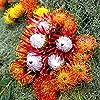 Pinkdose Fresh Rare Protea Cynaroides Bonsai Easy Planting Rare Bonsai Flower Bonsai Variety Completa 50 Bonsai/Pack Fresh Rare Flower: 6 #3