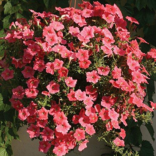 300 graines / sac Petunia Graines d'escalade fleur Pétunia Graines Mix Petunia hybrida Garden Bonsai usine Blanc