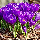 UtopiaSeeds 10 Purple Crocus Corms - Spring Blooming - Crocus Bulbs Remembrance