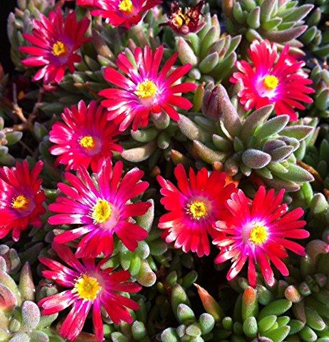 Portal Cool 30 + Delosperma Karminrot/Eis-Anlage Bodenbedeckung Perennial Blumensamen