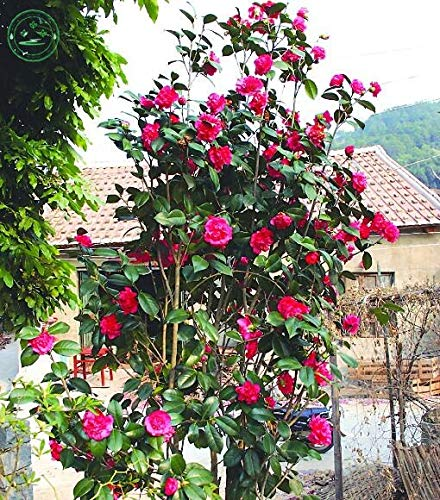 Hot Sale 10Pc/Bag Genuine Camellia Seeds World Rare Varieties Bonsai Tree Seeds For Garden Flower Seeds P16