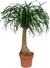 Elephant Foot - Unbranched - Room Plant - approx. 80cm