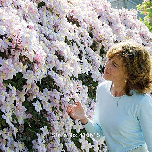 Potseed Clematis Samen Clematis Montana Mayleen Samen Rosa Rebe-Blumen, Pflanzensamen Reben Kletterpflanzen Twining Pflanze skandente