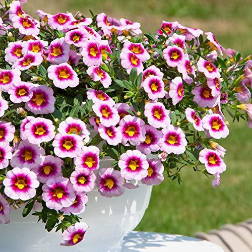 Qulista Samenhaus - Rarität 30pcs Zauberglöckchen Minifamous Pink Dark Eye Insektennährpflanze Balkonpflanzen Sommerblumen Blumensamen winterhart mehrjärhig als blühender Bodendecker