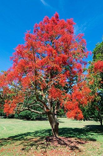Flammenbaum 5 Samen, Brachychiton acerifolius