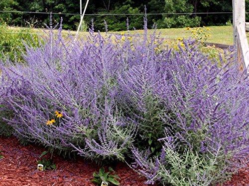 10 Russian Sage Seeds,Butterflies,Hummingbird,Hardy, Heat Loving,Perennial
