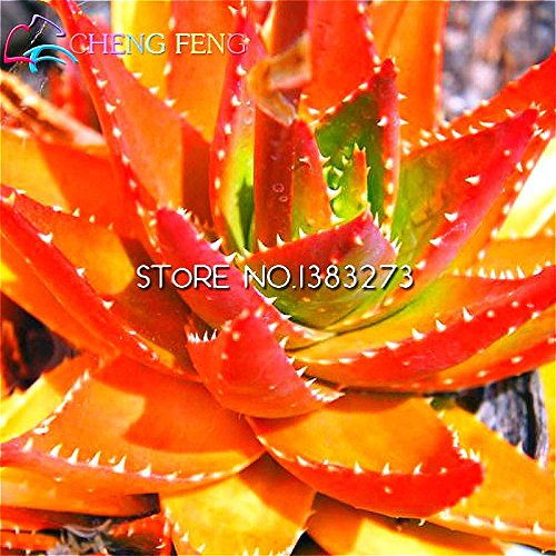 Vente chaude 50pcs Aloe Graines Plantes succulentes Mini Bonsai Graines Diy jardin Pot Plante vivace intérieure Cacti