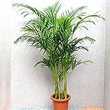 """""""アレカヤシ"""" 観葉植物 大型 8号プラスチック鉢 /132-01 (鉢底からの高さ:約130cm/葉張り:約80cm)【品種で選べる観葉植物・広めのリビングやオフィス向きサイズ/1個】学名:Dypsis lutescens 原産国:マダガスカル、アフリカ等熱帯雨林気候地区●初心者にも育てやすい観葉植物!おしゃれで涼しげな細い葉がお部屋を明るく彩ります。【造花ではありません。生きている観葉植物です。大型ですのでギフトラッピングには対応しておりません。※出荷タイミングにより、鉢の形や鉢色が変わる場合があります。植物には個体差があり、お届けする観葉植物の背丈・葉張りは表記サイズから多少変わることがあります。ご了承ください】"""