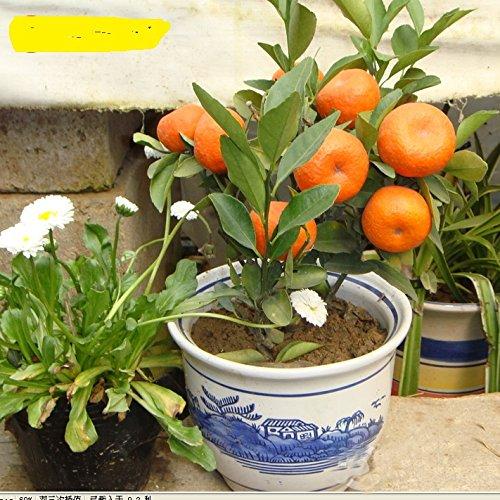 Balcon Patio Potted arbres fruitiers Graines Plantées, Graines Kumquat, Orange Seeds, Tangerine, Citrus - 50 particules / Sac