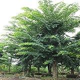 Futaba legno di sandalo rosso Pterocarpus indicus alberi decidui Leguminose 5 Semi