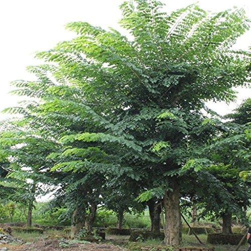 Futaba sándalo rojo Pterocarpus indicus árboles de hoja caduca Leguminosae 5 Semillas