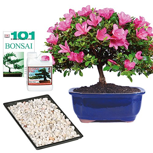 Brussel's Live Satsuki Azalea Outdoor Bonsai Tree - Complete Gift Set - 5 Years Old; 6' to 8' Tall with Decorative Container, Humidity Tray, Deco Rock, Bonsai Pro Fertilizer & Book