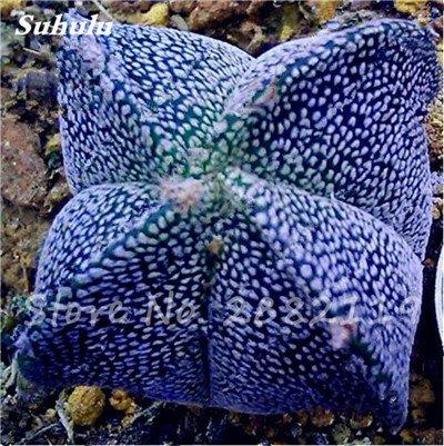 Succulentes graines fraîches 200 Pcs étoile à cinq branches charnus Graines rares Sempervivum Mix-kinds Fleurs Succulent Bonsai Plantes 4 pot