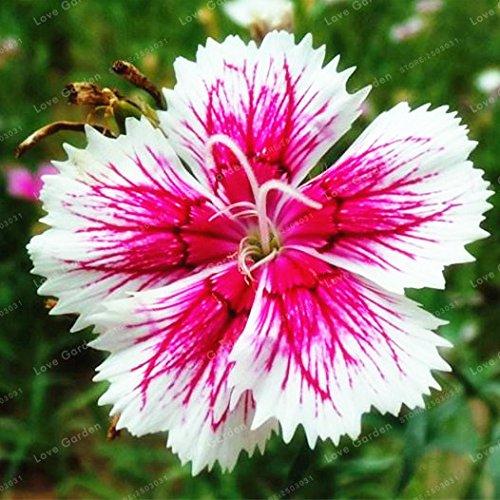 Graines multicolores Carnation Dianthus Barbatus Graines de fleurs Graines Bonsai Balcon plante facile à cultiver 100 Pcs / Sac 13