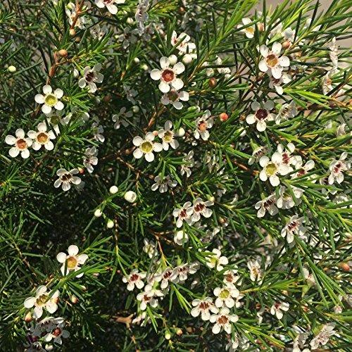 Flor de Cera - Maceta 15cm. - Altura total aprox. 50cm. - Arbusto exterior - Planta viva - (Envíos sólo a Península)