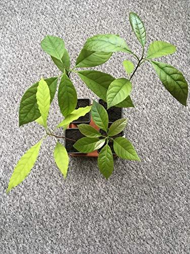 ScoutSeed 4 Avocado-Pflanzen, auf Platz 'Saucer', lokale Abholung, Southport