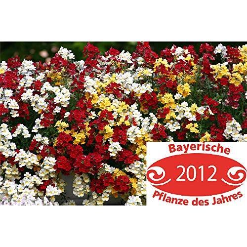 TrioMio, Elfenspiegel Mix dreifarbig - im Topf 12 cm, in Gärtnerqualität von Blumen Eber - 13cm