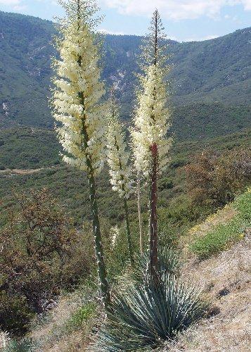 TROPICA - Yuca chaparral (Yucca whipplei) - 10 semillas- Magia tropical