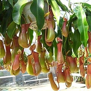 200pcsの摘みたての蚊ウツボカズラ種子鉢植えの花の種楽しいノベルティパティオ/バルコニー食虫植物