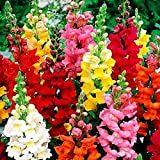Snapdragon Seed Mix for Planting Dragon Flowers Lion's Mouth Antirrhinum Low Height About 1000 Seeds