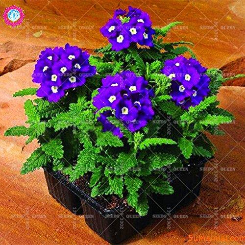 Variété rare! 100 pcs / sac verveine graines plante herbacée hybride vivace en pot Maison et jardin 95% fleurs bonsaï taux de germination 7