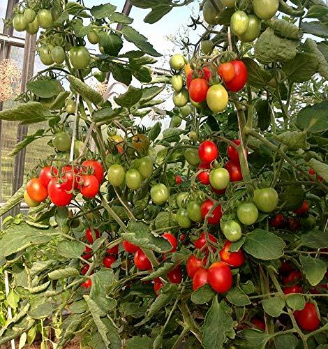 Tomate Principe Borghese - 10 Samen