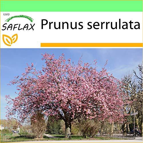 SAFLAX - Cerisier du Japon - 30 graines - Prunus serrulata