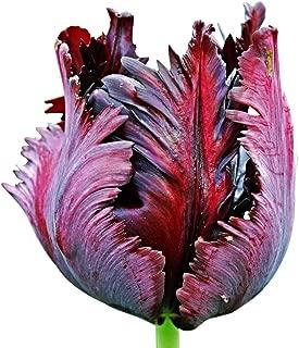 5 Black Parrot Tulip Bulbs - Fresh Bulbs October 2018