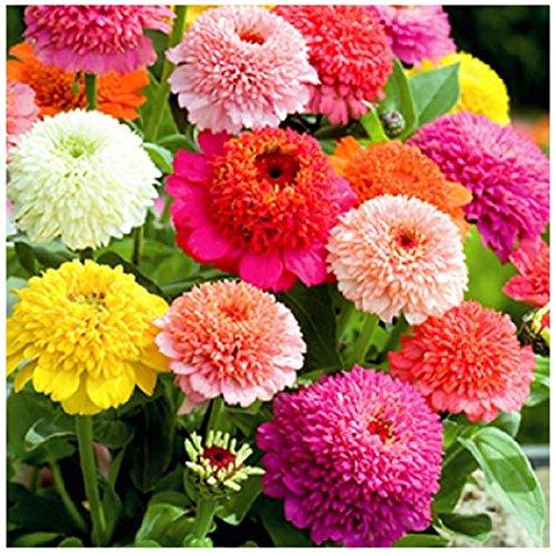 Lot de 50 graines de Zinnia Elegant à fleurs doubles Scabiosa mix - annuelle