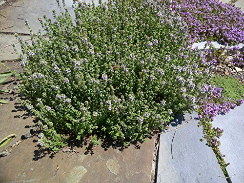 Thyme Plant for Culinary Use - Thymus Shrub in a 14cm Pot - Can Be Planted in Patio Pots