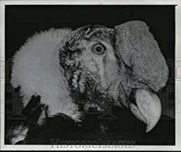 Vintage Photos 1977 Connie The Condor at Zoo in Milwaukee, WI. - mja95499