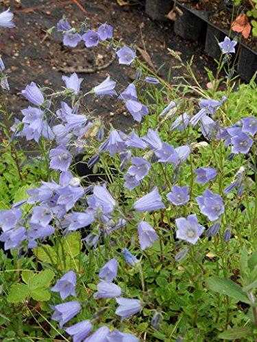 Campanula cochleariifolia Bavaria Blue - Zwerg-Glockenblume, 6 Pflanzen im 5/6 cm Topf
