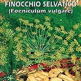 FINOCCHIO SELVATICO (Foeniculum volgare) (SEMI)