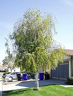 Weeping White Birch, (Silver Birch), Betula pendula alba, 50 Tree Seeds