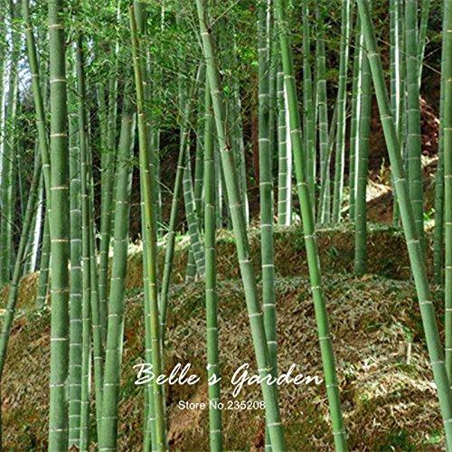 Phyllostachys géant Pubescens 50pcs Graines Graines Moso Bamboo jardin usine de bricolage