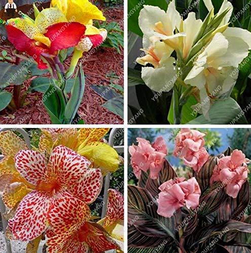 Shoopy Star Canna Lilien-Samen Bonsai Blumensamen Topf Samen 50PC YELLOW GRADATION COLOR