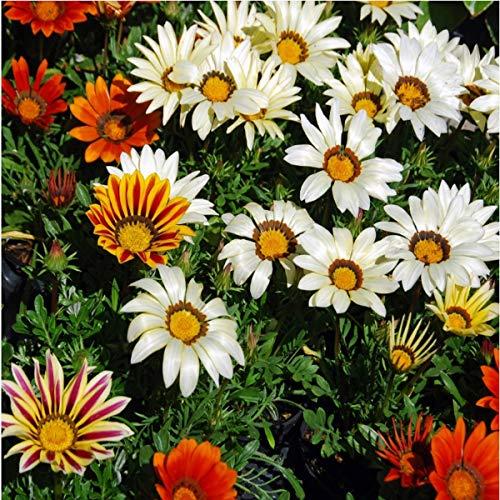 Glänzende Gazania - 75 Samen,Mittagsgold Großblumige Spielarten, einjährig, dauerblüher in reichem Farbenspiel 'Gazania Hybride' Mittagsblumen Blumensamen & -pflanzen