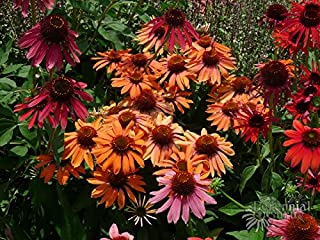 50 Cheyenne Spirit Coneflower Seeds - JDR Seeds