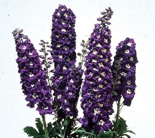 JustSeed - graines de fleurs Delphinium Magic fontaines Bleu fonc Blanc Abeille 500 graines Bulk Lot