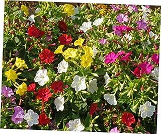 JIYO Summer Blooming 5 Mirabilis Jalapa Four O'clock Flower Mix Color Flower Bulb - RK154.